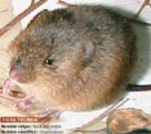 Ratón hocicudo rojizo